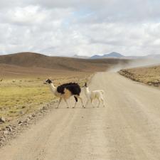 Bolivia_llama